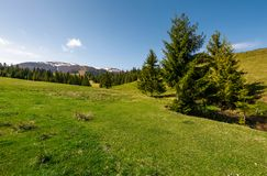 Coniferous forest on a grassy hillside. Lovely springtime scenery at the foot of Borzhava mountain ridge. location - Pylypets, TransCarpathian region, Ukraine Stock Photos