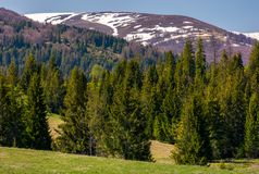 Coniferous forest on the grassy slopes. Beautiful springtime landscape of Ukrainian alps. mountain ridge with snowy tops in the distance Royalty Free Stock Photo