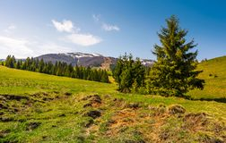 Coniferous forest on the grassy slopes. Beautiful springtime landscape of Ukrainian alps. mountain ridge with snowy tops in the distance Stock Photography