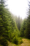 Coniferous forest is green ,the trees tall and mountains Stock Photography