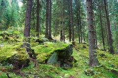 Coniferous forest. On the hillside among the mossy stones stock photo