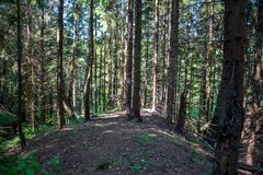 Coniferous forest in a hilly area stock photos