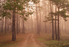 Coniferous forest illuminated Stock Photography
