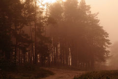 Coniferous forest illuminated Royalty Free Stock Images