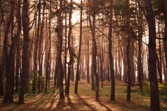 Coniferous forest illuminated Royalty Free Stock Image