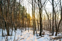 Coniferous forest illuminated by the evening sun on a spring day. Sunset. stock images