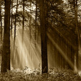 Coniferous forest illuminated by the morning sun on a foggy autu Royalty Free Stock Images