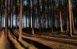 Coniferous forest Royalty Free Stock Images