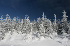 Coniferous Forest In Winter Royalty Free Stock Photos