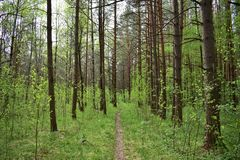 Coniferous forest interesting forest wildlife of our planet. Forest for man has always been a source of untold wealth stock photos