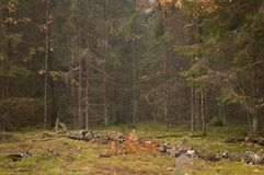 coniferous forest, landscape, glade, moss, trees royalty free stock images