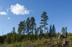 Coniferous forest landscape Royalty Free Stock Photos