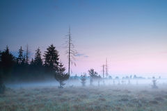 Coniferous forest at misty sundown Royalty Free Stock Photo