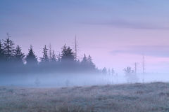 Coniferous forest in morning fog Royalty Free Stock Photo