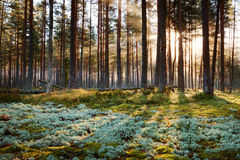 Coniferous forest with morning sun shining Stock Photos