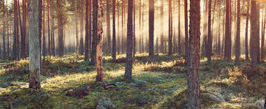 Coniferous forest with morning sun shining royalty free stock images