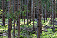 Coniferous forest. With moss, branches and light stripes on the ground Stock Photo