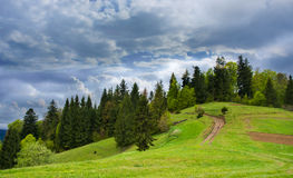 Coniferous forest on a mountain. Royalty Free Stock Photo