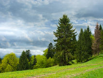 Coniferous forest on a mountain. Stock Photography