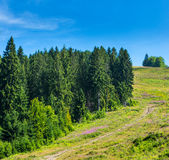 Coniferous forest . Stock Photo