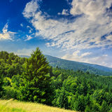 Coniferous forest on a  mountain slope Royalty Free Stock Photo