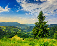 Coniferous forest on a  mountain slope Royalty Free Stock Photos