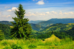 Coniferous forest on a  mountain slope Royalty Free Stock Photography