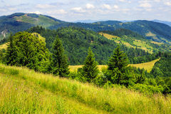 Coniferous forest on a  mountain slope Stock Photos