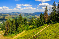 Coniferous forest on a  mountain slope Stock Image