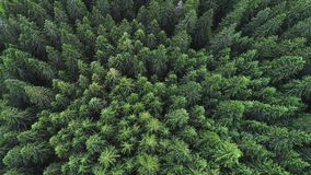 Coniferous forest Royalty Free Stock Photography