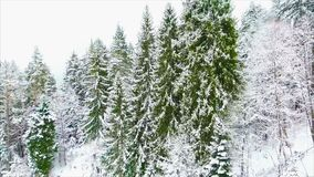 Coniferous forest in the mountains stock video