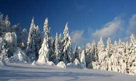Coniferous Forest On The Mount Royalty Free Stock Photo