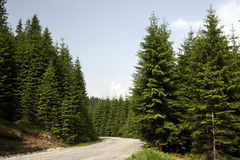 Coniferous Forest On The Mountain Stock Photos