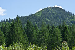 Coniferous Forest On The Mountain Royalty Free Stock Photo