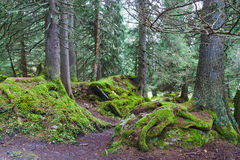 Coniferous forest. Pathway in the coniferous forest between the mossy stones stock photos