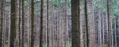 Coniferous forest pattern. Coniferous trees creating parallel lines in a forest Royalty Free Stock Photo