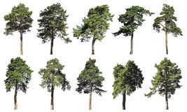 Coniferous forest. Pine, spruce, fir. Set of isolated trees on w Royalty Free Stock Photography