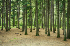Coniferous forest. Of pine trees Royalty Free Stock Photo