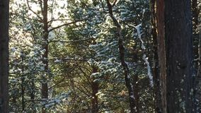 The coniferous forest, pine trunks and branches covered with snow in a clear sunny day. The pine branches covered with snow wave from a breeze in the coniferous stock video footage
