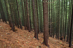 Coniferous forest Stock Photography