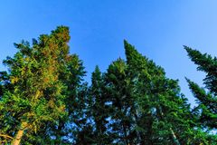 Coniferous forest in the rays of the setting sun Stock Photos