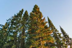 Coniferous forest in the rays of the setting sun Royalty Free Stock Photo
