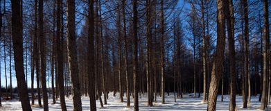 Coniferous forest. On snowfield in winter Royalty Free Stock Photography