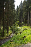 Coniferous forest in summer Stock Photo