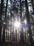 Coniferous forest with the sun shining through the trees. (Pine forest) Stock Photos