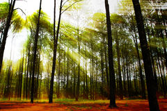 Coniferous forest on sunrise Royalty Free Stock Photos