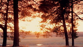 Coniferous forest at sunset stock video footage