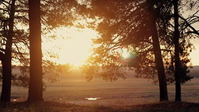 Coniferous forest at sunset. In motion stock footage