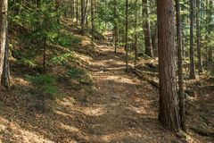 Coniferous forest of trees with a full frame trail royalty free stock photography