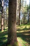 Forest in Trentino Alto Adige. Coniferous forest in Trentino Alto Adige royalty free stock images